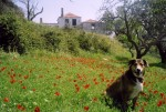 My dog in a poppy field on the island. A Poppy-dog?